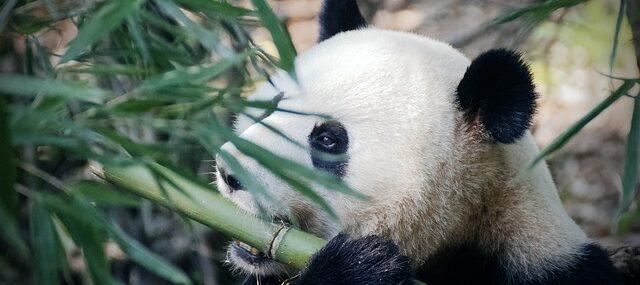 srečni bambus